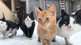 Gang yard cats winter. Fit and sniffing stock footage