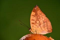 Ganga Abrota/della farfalla Fotografie Stock