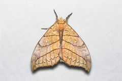 Gangarides dharma moth Royalty Free Stock Photo