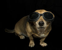 Gangasta hund Arkivbilder