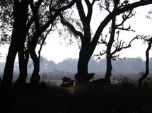 Gange Forest Cows Fotografie Stock Libere da Diritti