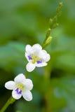 Gangetica Asystasia Στοκ Εικόνες