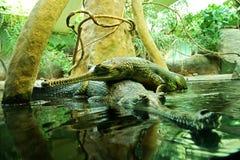 Gangeticus del Gavialis Imagen de archivo libre de regalías