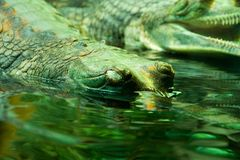 Gangeticus do Gavialis Imagem de Stock Royalty Free