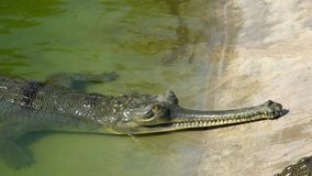 Gangeticus för Gharial krokodilGavialis, också som är bekant som Gavialen i simbassäng, i att föda upp mitten stock video