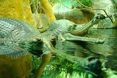 Gangeticus Gavialis Стоковая Фотография