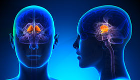 Ganglions basiques femelles Brain Anatomy - concept bleu Photos stock