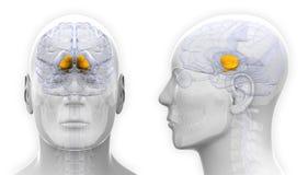 Ganglions basiques masculins Brain Anatomy - d'isolement sur le blanc Images libres de droits