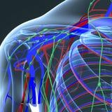 Ganglions de vaisseau sanguin et lymphatiques avec le corps squelettique à l'épaule Image stock
