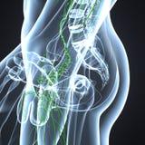 Ganglions lymphatiques avec le corps squelettique à la hanche Photos libres de droits