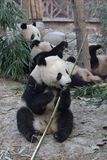 A Gangs of Giant Pandas are Eating Bamboo Leaves with her Cub, Chengdu , China. Cute and Funny Action of Giant Panda in Chengdu, China, Playing Stock Photo