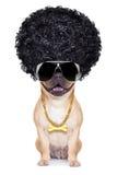 Gangster dog Stock Images