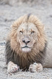 Gangster Lion Royalty Free Stock Photos