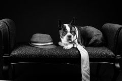 Gangster Pug Portrait Royalty Free Stock Photo