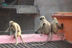 Gangu uderzenie małpy Zdjęcia Stock