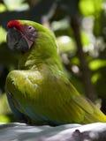 Ganhos do papagaio foto de stock
