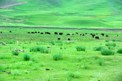 gannan λιβάδι s Θιβέτ Στοκ Εικόνες