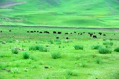 gannan grässlätt s tibet Arkivbilder