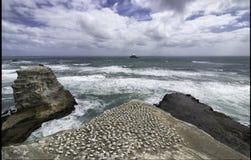 Gannet殖民地在奥克兰附近的Muriwai海滩 免版税库存照片