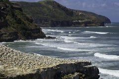 Gannet殖民地在奥克兰黑色沙子海滩附近的Muriwai海滩 库存图片