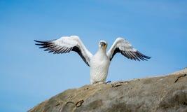 Gannet炫耀或恼怒的鸟Gannet 库存图片
