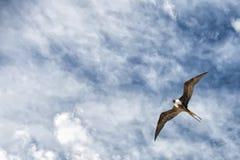 Gannet鸟,当飞行时 库存图片