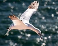 Gannet κατά την πτήση Στοκ Φωτογραφίες