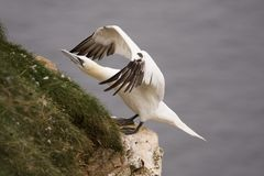 gannet κεφάλι troup Στοκ Φωτογραφία