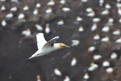Gannet που πετά στην ακτή Muriwai στοκ εικόνες