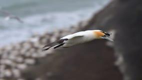 Gannet που πετά στην ακτή Muriwai Στοκ Εικόνα