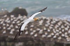 Gannet που πετά στην ακτή Muriwai στοκ φωτογραφία