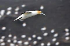 Gannet που πετά στην ακτή Muriwai στοκ φωτογραφίες