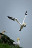Gannet που προσγειώνεται στους ισχυρούς άνεμους Στοκ Εικόνες