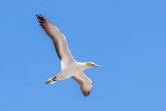 Gannet στην παραλία Muriwai, Ώκλαντ, Νέα Ζηλανδία Στοκ εικόνες με δικαίωμα ελεύθερης χρήσης