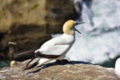 Gannet στο νησί πουλιών Στοκ Φωτογραφία