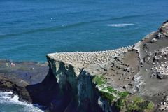 Gannet στο νησί πουλιών Στοκ φωτογραφία με δικαίωμα ελεύθερης χρήσης