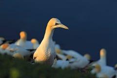 Gannet в колонии Северное gannet с материалом вложенности в птице счета в мухе с синей морской водой на заднем плане Fl Стоковые Изображения RF