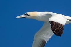 Gannet в полете Стоковое фото RF