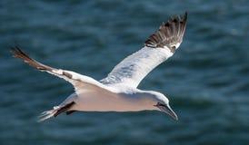 Gannet в полете Стоковая Фотография RF