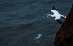 Gannet на скалах bempton, Йоркшир, Великобритания Стоковые Изображения RF