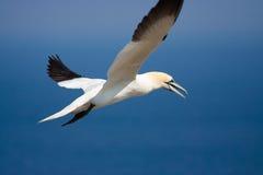 gannet северное Стоковые Изображения RF