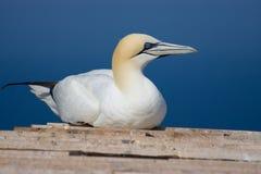 gannet северное Стоковое Изображение