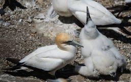 Gannet со своими детенышами - 2 Стоковые Изображения