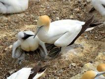 Gannet : 母亲和小鸡 免版税库存图片