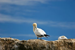 Gannet 01 Stock Photography