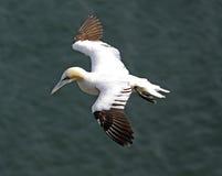 鸟gannet 免版税库存图片