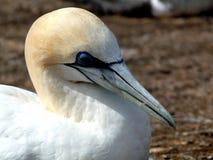 gannet zdjęcie stock