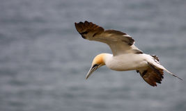Gannet. In flight over the colony Stock Photos