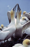 Gannet stock photo