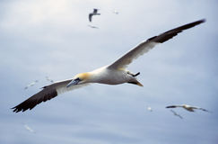 Gannet stock photography